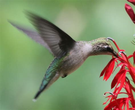 cardinal flowers and hummingbirds pollination perfection
