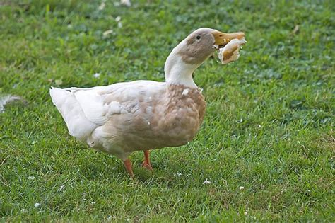 ducks love bread a gallery on flickr
