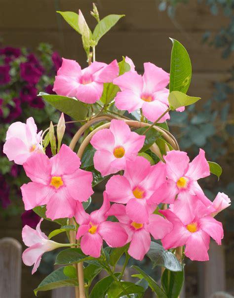 Mandevilla Pink 1 sundaville world s no 1 mandevilla dipladenia