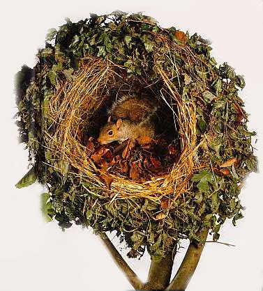 Do When You Build A Nest by How Squirrels Make Their Nests 171 Why Evolution Is True