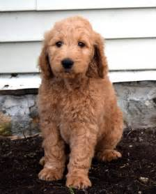 goldendoodle puppies for sale in vermont family raised goldendoodle pups craigspets