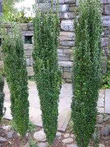 Rosemary Plant Diseases - landscapeconstruction ilex crenata sky pencil
