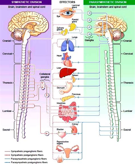 diagram of autonomic nervous system the autonomic nervous system ans sympathetic and