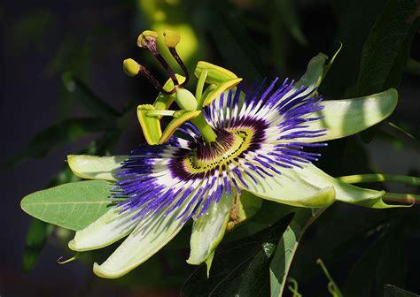 fiore passiflora passiflora caerulea wikidata