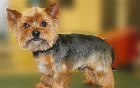 hair styles for male yorkies yorkie haircuts for males and females 60 pictures