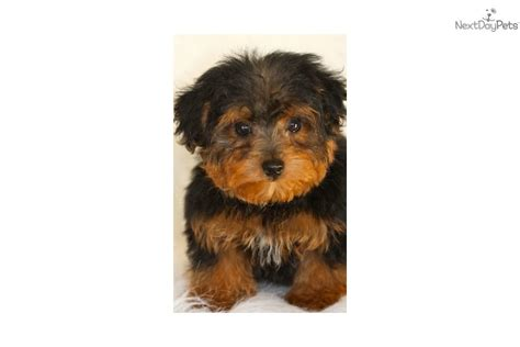 teacup yorkie puppies for sale in tulsa ok yorkiepoo yorkie poo puppy for sale near tulsa oklahoma 28a5c376 f721