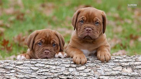 mastiff puppies wallpaper