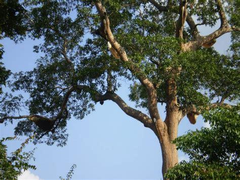 Madu Hutan Asli Palembang Madu Sialang Skyland madu muba 100 madu asli hutan sumatera