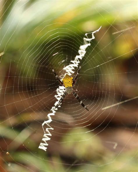 Hawaiian Garden Spider by Hawaiian Garden Spider Argiope Appensa Araneidae Photo