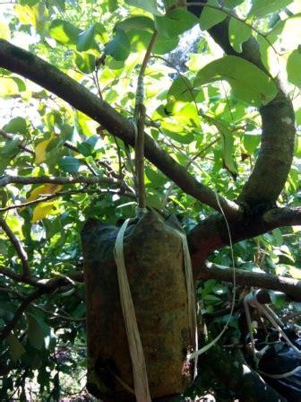 Bibit Kelengkeng Cangkok perbanyakan kelengkeng cangkok stek okulasi dan sambung
