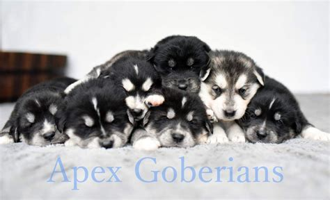 golden retriever siberian husky puppies for sale adorable goberian puppies husky golden retriever conwy conwy pets4homes