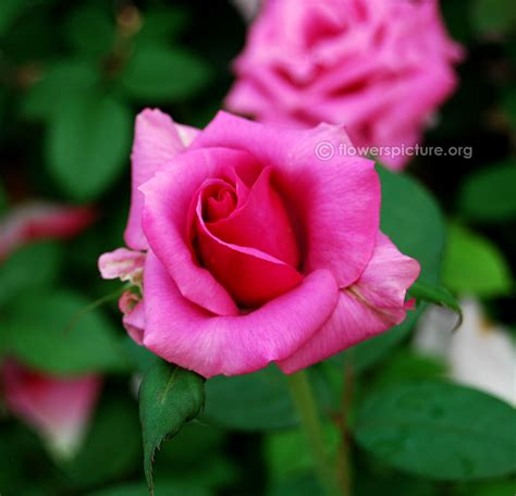 barbra streisand the rose lalbagh flower show august 2014 photos independence day