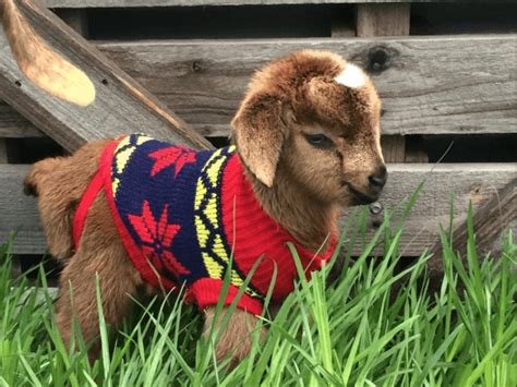 new year 2017 goat things to do in dallas this weekend dec 29th jan 1st