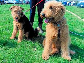 lifespan of a poodle terrier airedoodle airedale x terrier poodle mix info