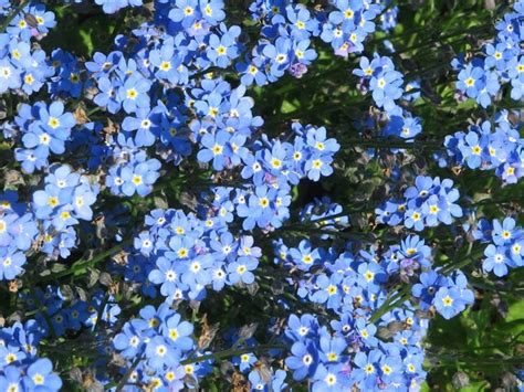 fiore nontiscordardime non ti scordar di me myosotis myosotis perenni non