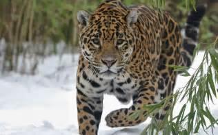 Roaring Jaguar Jaguar Animal Roaring Jaguar Wallpapers Animal Johnywheels