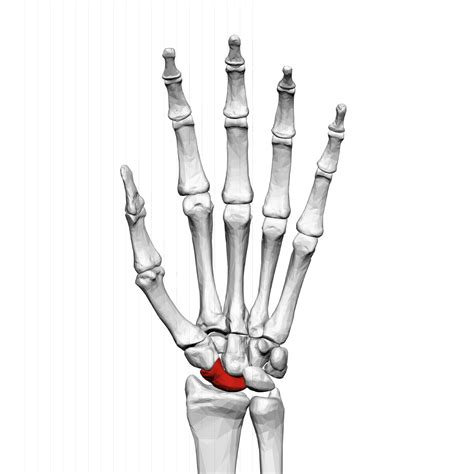 and this accessory found in ring left index finger and comes with scaphoid bone wikipedia