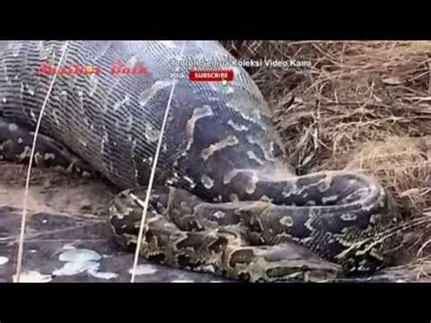 youtube film manusia ular ular terbesar mati usai makan landak unik dunia youtube