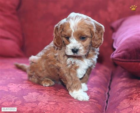 retriever doodle puppies for sale nz cavapoo puppy for sale in pennsylvania dogs