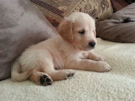 golden retriever litter stunning litter of golden retrievers st leonards on sea east sussex pets4homes