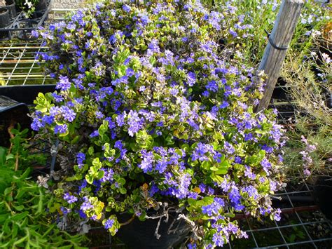 purple flowering shrubs australia angus s top ten australian plants for colour gardening