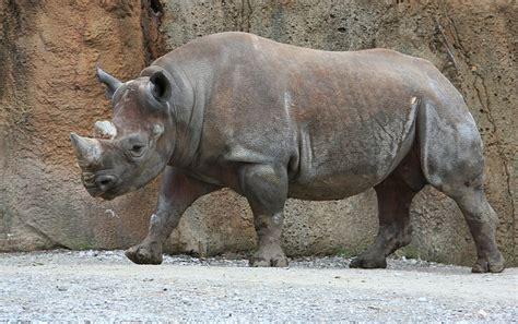 white rhino javan rhino  youve