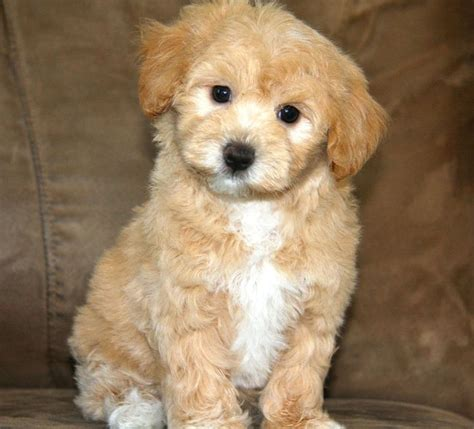 9 interesting facts about maltipoos animals zone image via maltipoo maltese and miniature toy poodle mix