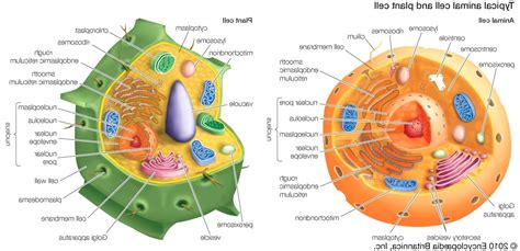diagram of typical plant cell diagram typical animal cell diagram labeled
