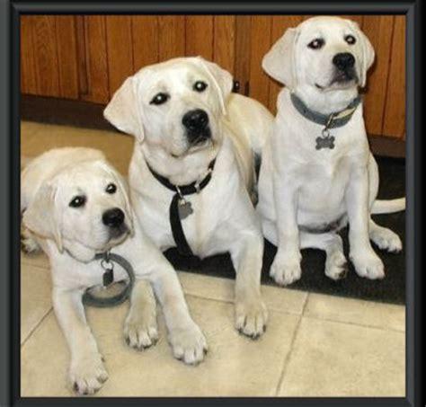golden retriever breeders ontario reviews miniature terriers breeds akc breeds pictures european breeds picture