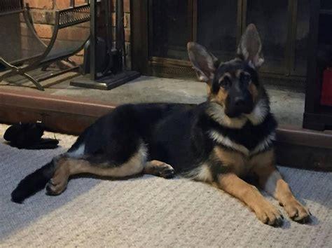8 month puppy behavior 8 month skittish behavior german shepherd forums
