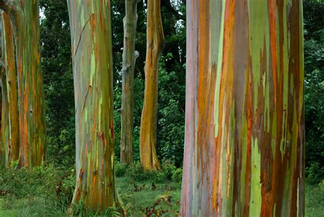 rainbow trees rainbow eucalyptus the pixel diaries
