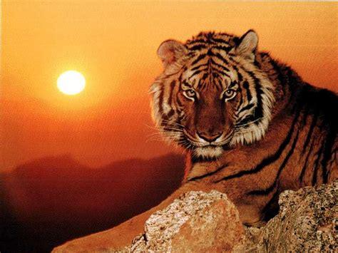 imagenes sorprendentes de tigres imagenes hd de tigres taringa