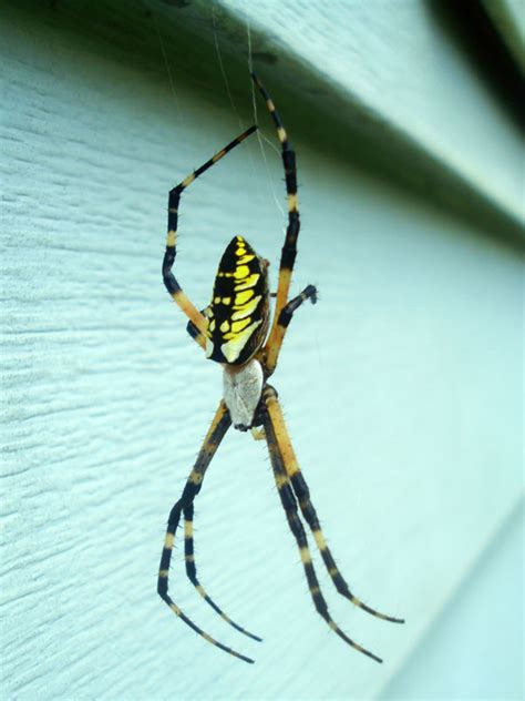 Garden Spider With Yellow Stripes Australia by A Scairt Of Piders Embracing Myself