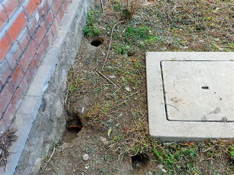 ratti in giardino servizi exera derattizzazione topi domestici ratti neri