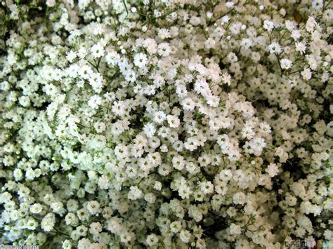 tiny small tiny white flowers wallpaper 11753 open walls