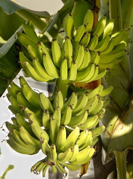 Ripe for the picking: Bananas don't have to be yellow to ... Yellow Banana Tree