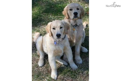 heritage golden retriever puppies for sale from heritage rock goldens nextdaypets
