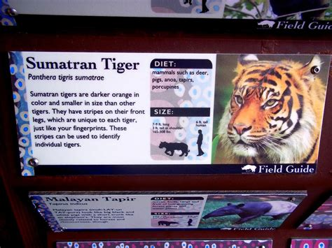 www zoo section com zoo info on sumatran tigers the ebestiary