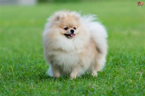 top pomeranian top grooming tips for a pomeranian pets4homes
