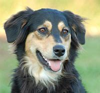 collie rottweiler mix dogs i want and i on