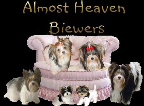 cloverdale yorkies almost heaven biewers cloverdale yorkies we biewers yorkies and