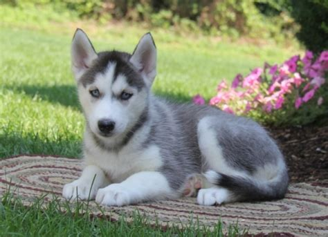 siberian husky puppies for sale 300 in los angeles and lovely siberian husky puppies available los angeles for sale los angeles pets