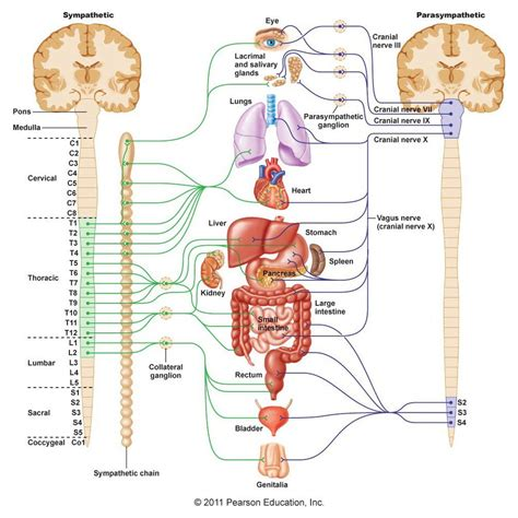 All Sections Of all parts of nervous system the nervous system biology