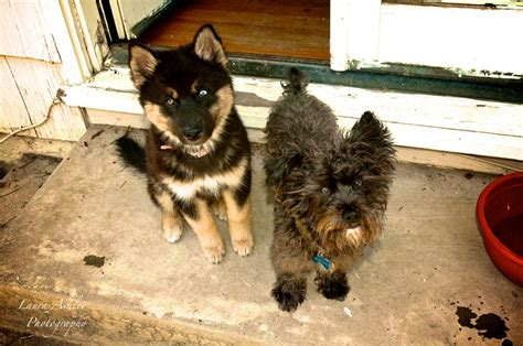 yorkie and husky mix german shepherd maltese mix breeds picture