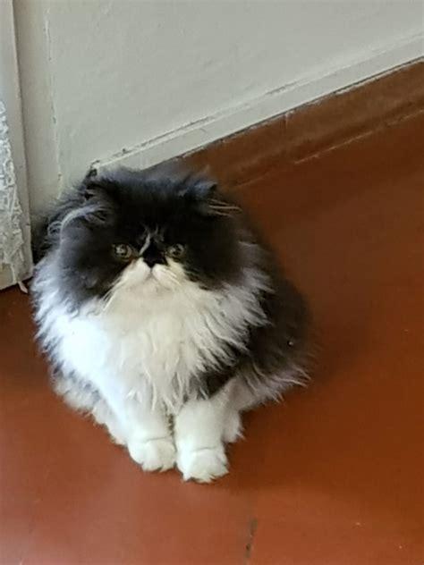 allevamento gatti persiani toscana lovely maremma cattery allevamento