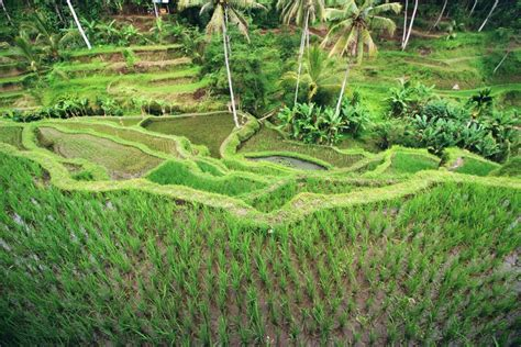 Bali Brown Rice travel story indonesia between the rice fields on bali the wandering mind