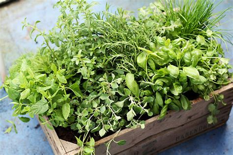fresh planted herbs gastronomy pinterest how to store fresh herbs popsugar food