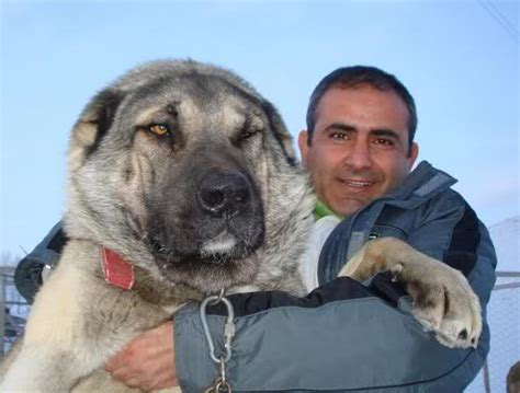 turkish kangal puppies god s miracle caucasian ovcharka and turkish kangal page 6