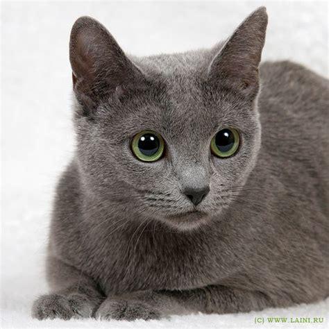 Blee Cat 2 russian blue cat russian blue