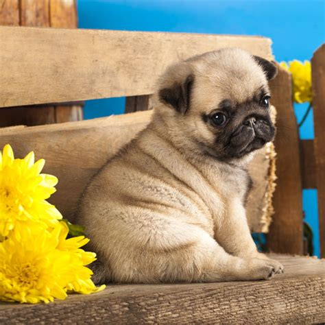 baby pug 45 pug collection golfian